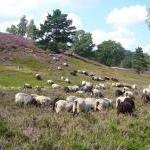 Heidschnucken :: Schafe in der Nordheide